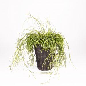 ripsalis hangplant